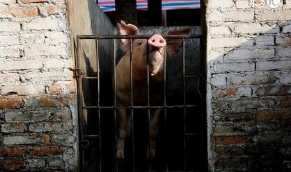 猪贩子们九类骗术诡计,猪价低迷,不要一损再损啦,养猪人必看