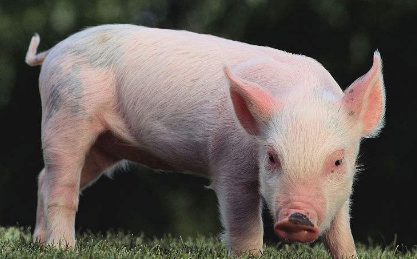 南猪北养初见成效,预计东北将成为中国最大的生猪来源地