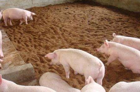 养猪新手遇到猪呕吐要注意这三点,没准儿帮你大忙!