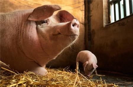 自繁自养猪场母猪有这6种情况,你应该马上淘汰掉!