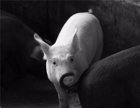 育肥猪食欲减退的原因有哪些?