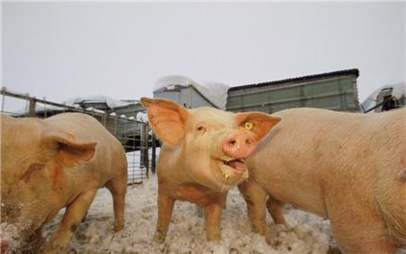 北方猪价已经降至成本线附近 猪价再压阻力大