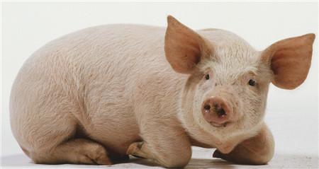 恐慌性抛售仍存在,猪价跪求政府拯救