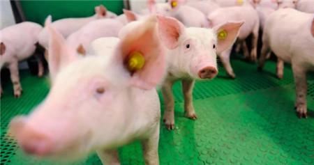 人工智能来养猪?这不是在开玩笑!一人养猪1000头不是梦