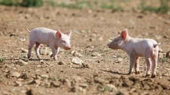 2018年流行组团买土年货 买一整头不喂饲料的猪过年