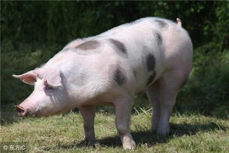 养殖猪学习之什么是三元猪,三元猪有什么特点
