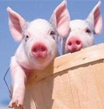 猪兜-京京 规模e猪