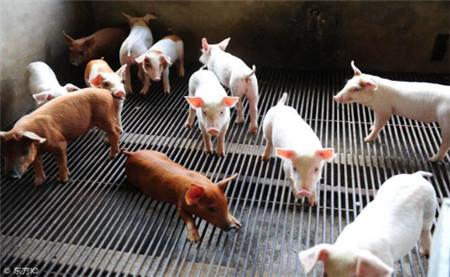 非接触式发酵床养猪是否比接触式发酵床养猪的密度有什么不同