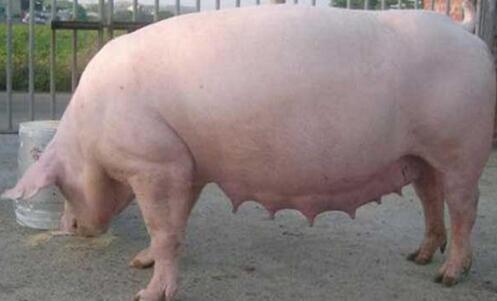 临产母猪的饲养也是重中之重!
