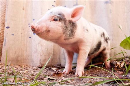屠宰一头猪到底有多少利润?屠宰企业的利润分析大揭秘!