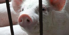 猪价下跌幅度明显变小,部分地区止跌反弹!