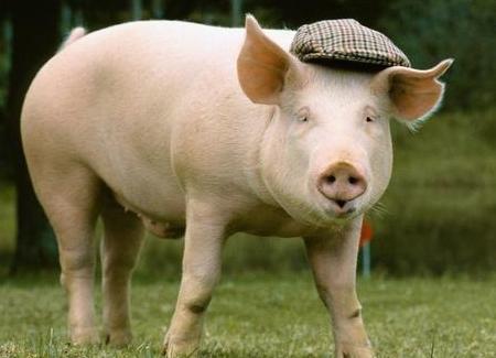 养猪生产中如何利用二八原则来养猪!
