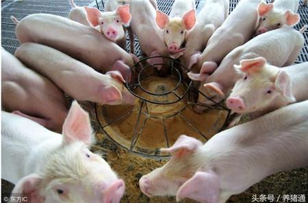 为什么说初生仔猪只能吃奶而不能吃饲料?