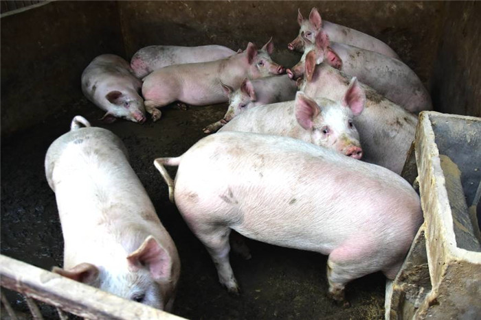 三十多头仔猪投入巨大,大哥咬咬牙,借了些钱还是把养猪场给建起来了,大哥想着玉米不值钱,但生猪价格还是很稳定的,所以他要把不值钱的玉米就地转化,让玉米变成猪肉,猪肉卖钱,增加了附加值,这也是不错的想法。