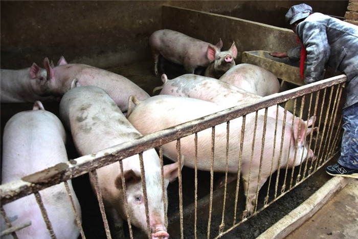 看着眼前的肥猪,大哥非常着急,他说这些生猪早该出栏了,就是价格上不来,所以还得养着,养着就得喂饲料,现在玉米长到八毛多一斤,生猪价格却还在走低,大哥眼巴巴看着猪圈里面的肥猪,累死累活干了一年,恐怕又要白忙活了。