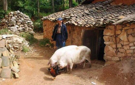 养猪场的肥猪只能活6个月,但实际上猪的寿命居然这么长?