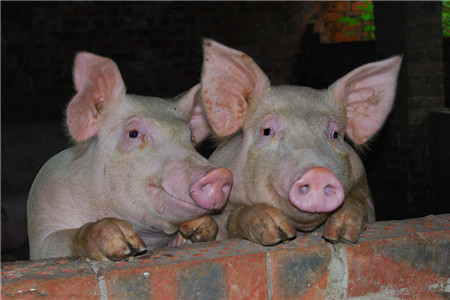 """今日猪价又涨了,根据中国养猪网猪价系统显示,生猪外三元价格为13.08元/公斤,较昨日上涨0.11元/公斤。猪价跌破12元之后,一路高歌,这是要反弹的节奏?      """"价高伤民,价贱伤农"""",养猪的农民很脆弱。一方面是屠宰场压价控量,一方面是养殖户集中出栏添加,加之节前备货推迟,屠宰企业走货较慢,直接形成生猪价格震动。新冻网表示近期全国各地普降大雪,影响部分运送加之养殖户受涨价预期影响有所惜售,生猪供给及需求短期再迎缺口,估计年前猪价将维持稳中上升的趋势。      现在屠宰企业备货完毕,虽市场需求仍呈季节性缓慢增加态势,但对市场行情支撑乏力,加之猪价继续大跌,揉捏有压栏倾向的养殖户出栏生猪,市场供给宽松,屠宰企业无涨价收买志愿,猪价继续大幅跌落。咱们估计2月份生猪供给将呈现显着过剩,加之新年接近屠宰企业将连续放假,短期生猪好转困难,部分地区猪价或有小幅反弹时机。      但是有些养殖户就是豪赌后市,成果猪价呈现一路跌落,想着年后猪价跌的更厉害悔恨着恐慌性出栏,进一步拉低猪价。据新冻网介绍企业加快生猪产能布局。接近新年,猪肉消费增多,说是增多,其实更多的是消费人群的搬运,极点消费分散了,提振猪价有限。年后相对年前猪肉消费削减,更不能提振猪价。"""
