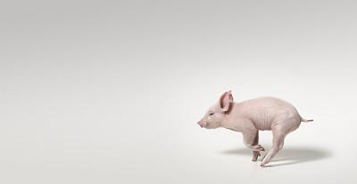 """村圈养生猪""""价值显现"""",比市场价贵2元多,依旧供不应求"""