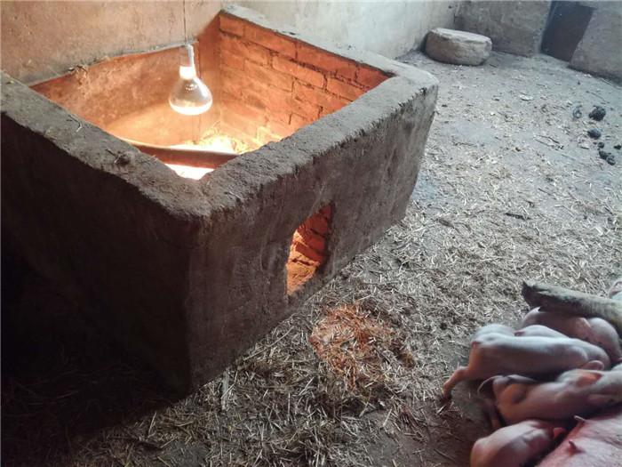涨知识:农村养猪,告诉你一个最有效的仔猪保暖方式,我这样做的