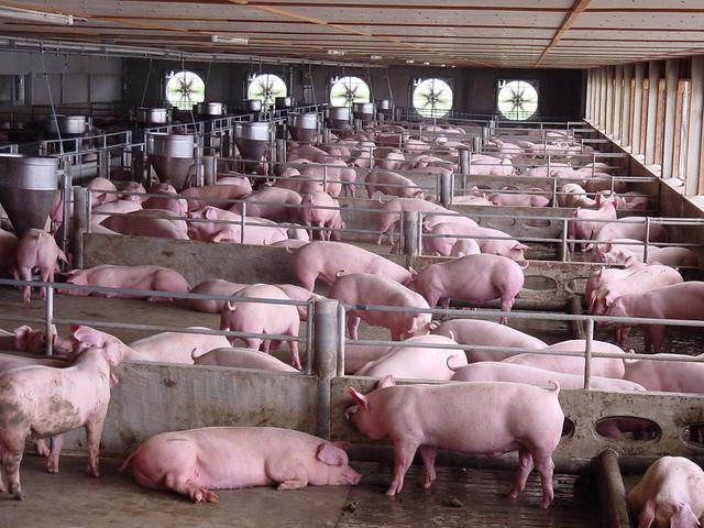 国内猪价行情继续下行背后的原因是什么