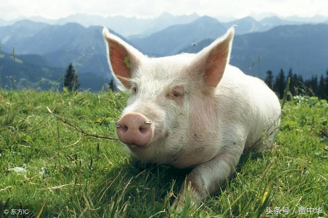 猪价止跌反弹!适重猪该不该压栏到年后?
