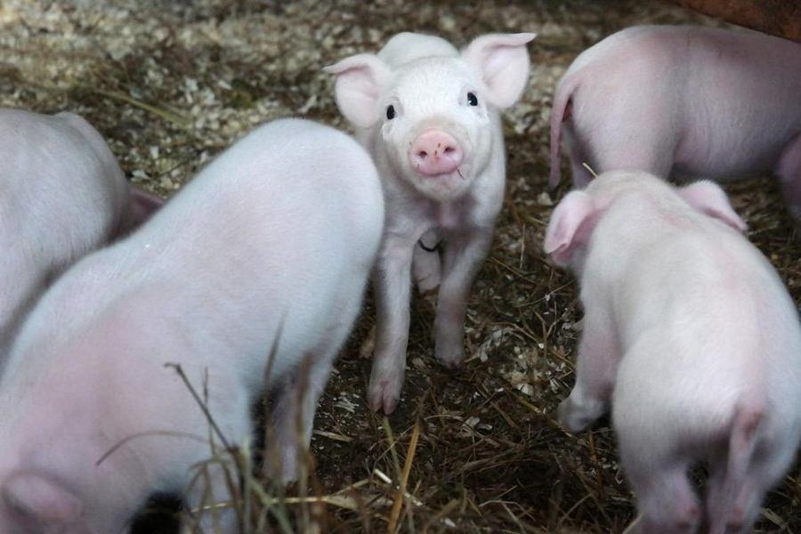 加大养猪出炉五年计划?想了解现场信息的看过来