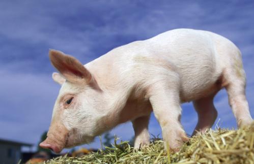 猪价上涨?可没人收猪,还是关注猪如何长得更快?
