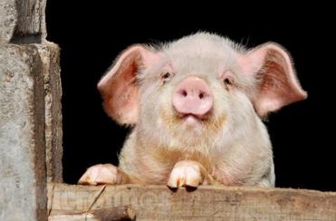 猪繁殖与呼吸综合征病毒类NADC30毒株的新近流行