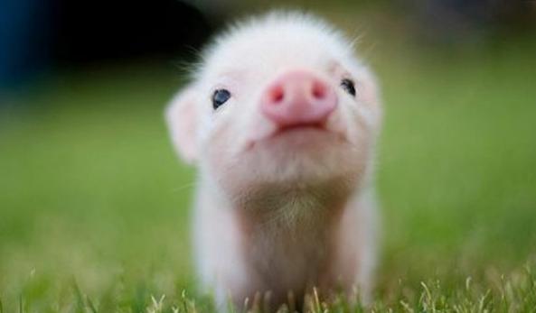 年前行情已成定局,年后猪价分解预测及操作模式建议!