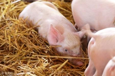 看完的都收藏了!益生菌在猪的各个养殖阶段具有不同的作用!