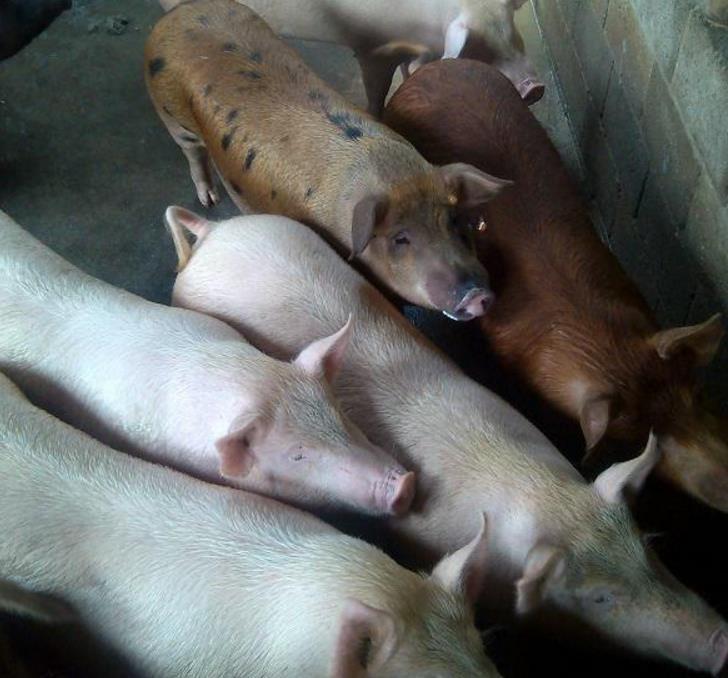 猪价仍徘徊在成本线附近,养猪户省钱秘招了解一下