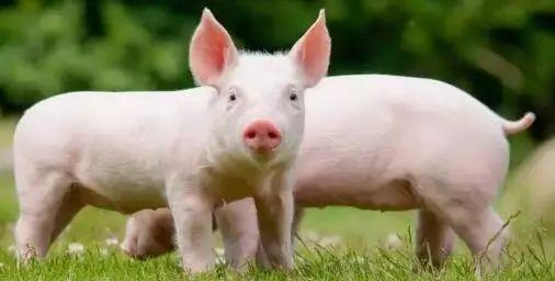 现在的上涨是好消息吗?2018年猪价恐或继续凉凉