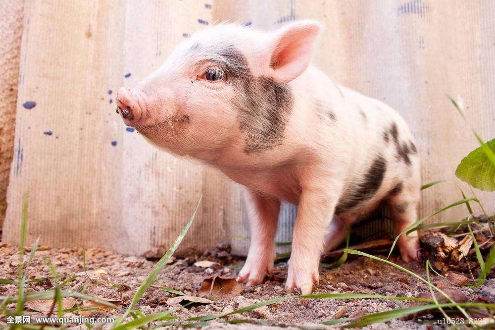 都说屠企赚了养猪户的钱,真的是这样吗?