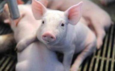 聊一个不赚钱的话题,如何把猪喂瘦?
