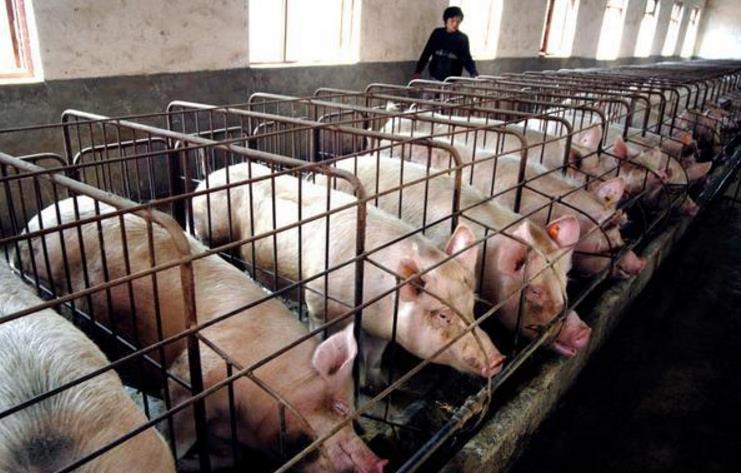 猪价上涨空间恐无几,养猪户该如何降低自己损失