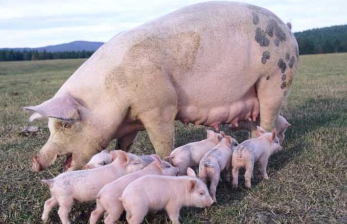 养猪户必看!现代化养猪场设计方案,需多少时间