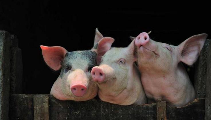 养猪利润高,来钱快,但为何农村养猪户数量逐年下滑?