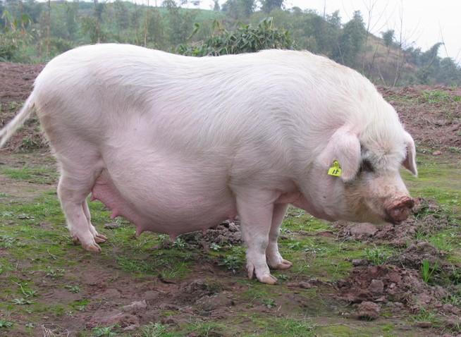 2018年02月19日全国土杂猪生猪价格行情涨跌表