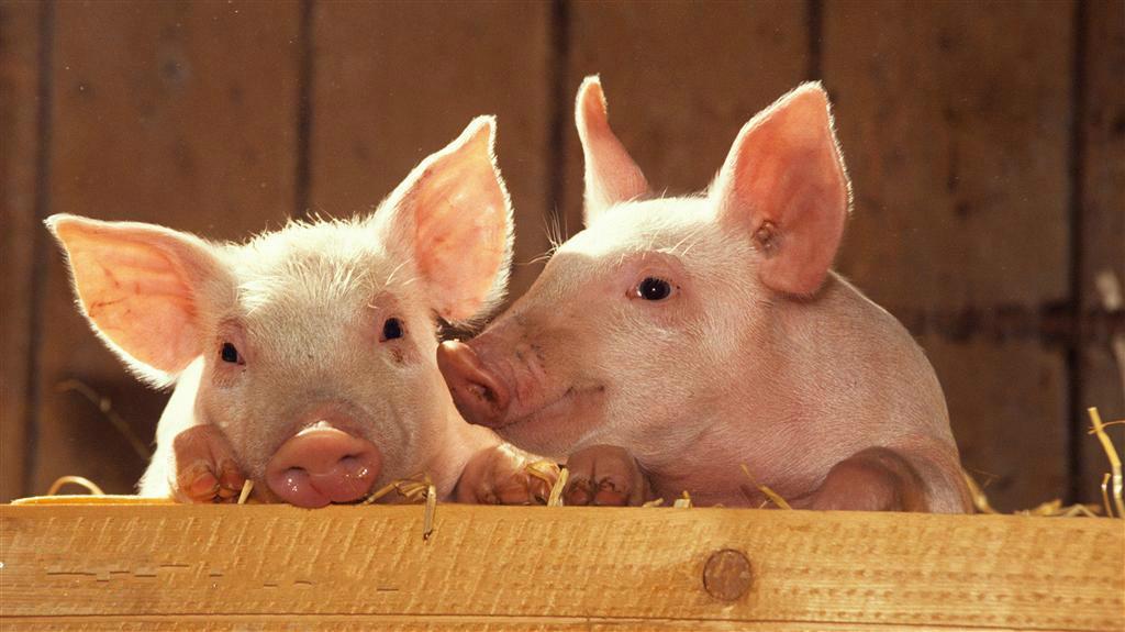 2018年2月19日(20至30公斤)仔猪价格行情走势