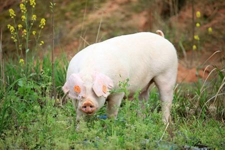 2018年02月20日全国土杂猪生猪价格行情涨跌表