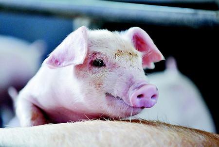 董广林:发生在规模猪场中那些不可描述的潜规则