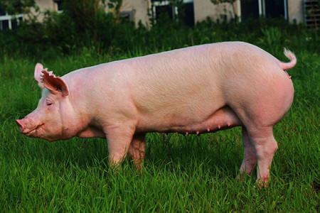 """选种猪重要的""""三因素"""",干货满满!"""