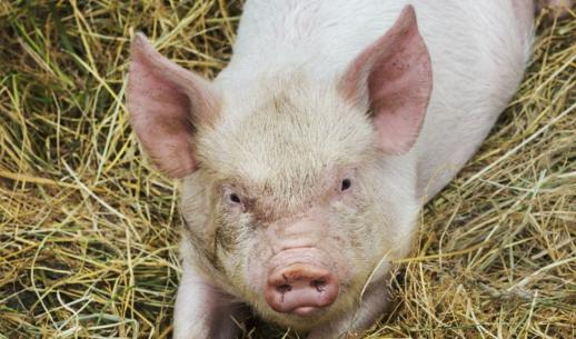 猪舍卫生条件不好有大风险,如何让猪文明如厕?