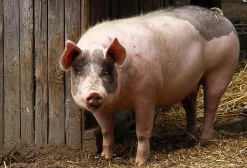 猪价随行就市调整,猪价上行难度大、各地涨跌差异也大...