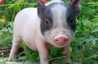2018年2月21(10至14公斤)仔猪价格行情走势