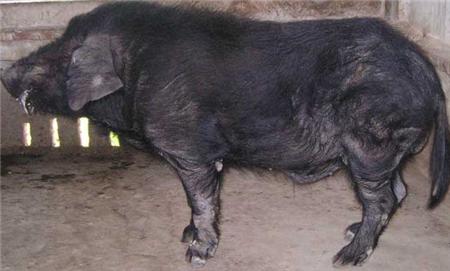 存栏上万头养猪场建设方案,养殖需多少时间