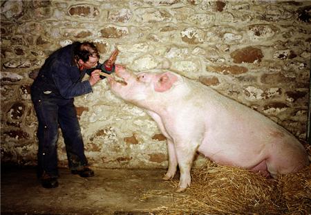 """育肥猪饲养谨防""""看不见""""的损失——劣质饲料喂猪"""