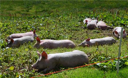 猪病治疗过程中,这3种做法,养猪人损失很大