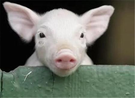 观眼识猪病(眼结膜苍白、眼发红、猪眼呈黄色、猪眼睑肿胀……)