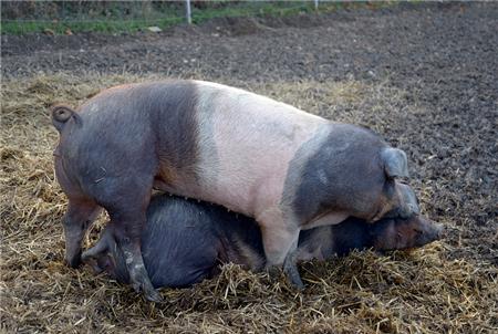 猪接种了口蹄疫疫苗为什么还是发病?